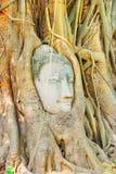 Huvudet av Buddhastatyn i trädet rotar på Wat Mahathat, Ayuttha Arkivfoton