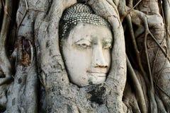 Huvudet av Buddhastatyn med trädet rotar på Wat Mahathat, historisk plats av Thailand Royaltyfri Fotografi