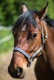 Huvudet av den bruna Hanoverian hästen i tygeln eller snaffle a med den gröna bakgrunden av träd ett gräs i den soliga sommardage arkivbild