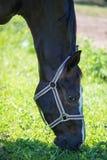 Huvudet av den bruna Hanoverian hästen i tygeln eller snaffle a med den gröna bakgrunden av träd ett gräs i den soliga sommardage royaltyfri foto