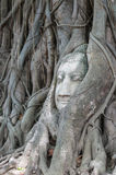 Huvudet av den forntida Buddha som omges av, rotar av ett träd Arkivfoto