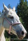 Huvudet av den le eller kacklande vita Hanoverian hästen i tygeln eller snafflen med den gröna bakgrunden av träd ett gräs i th arkivfoto