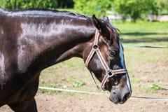 Huvudet av den ledsna bruna Hanoverian hästen i tygeln eller snafflen med den gröna bakgrunden av träd ett gräs i den soliga somm royaltyfri bild