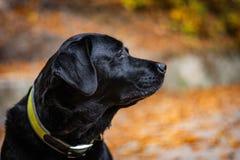 Huvudet av den svarta labrador under höst, hund ser högert och har den gröna kragen, orange sidor är omkring royaltyfria foton