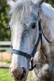 Huvudet av den vita Hanoverian hästen i tygeln eller snaffle a med den gröna bakgrunden av träd ett gräs i den soliga sommardagen royaltyfria bilder