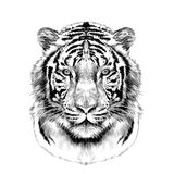 Huvudet av den vita tigern skissar vektordiagram Arkivfoto