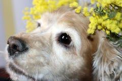 Huvudet av en amerikansk spaniel är att lisma med en kvist av den gula vårmimosablomman arkivfoton