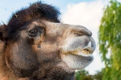 Huvudet av en Bactrian kamel Arkivfoton