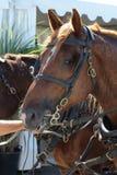 Huvudet av en Breton häst för drag hitch upp Arkivbild