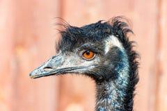 Huvudet av en emufågel 2 Arkivbild