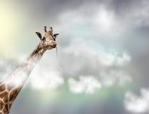 Huvudet av en giraff ovanför vit fördunklar i grå himmel Fotografering för Bildbyråer