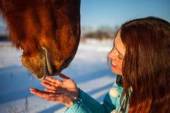 Huvudet av en häst och en flickas händer stänger sig upp Hon matar den röda hästen royaltyfri fotografi