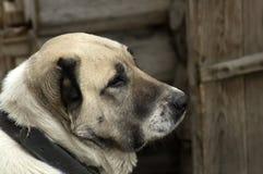 Huvudet av en hundavelAlabai sida royaltyfri foto