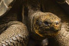 Huvudet av en jätte- sköldpadda Arkivfoto