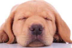 Huvudet av en sova valp för den labrador retrieveren förföljer arkivbilder