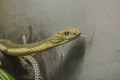 Huvudet av konungen Cobra ?r en farlig giftig orm arkivfoto