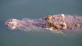 Huvudet av krokodilen simmar i det gröna sumpiga vattnet Muddy Swampy River thailand askfat arkivfilmer