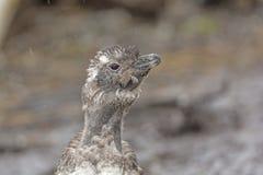 Huvudet av rugga behandla som ett barn pingvinet i regnet Arkivfoton