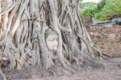Huvudet för Buddha` s inom träd rotar på Wat Mahathat Arkivbilder