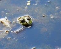huvudet för groda` s kikar ut ur vattnet Arkivbild