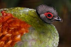 Huvudet med en slående röd ögoncirkel av en kvinnlig krönade rapphönan i profilsikt royaltyfria bilder