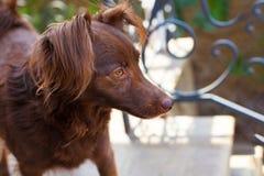 Huvudet och bröstkorgen av den lilla melankoliska röda hundbyrackan som står utanför främst av det svarta krökta metallstaketet royaltyfri bild
