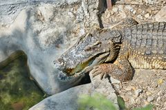 Huvudet och den halva kroppen av alligatorn eller krokodilen ligger ner på sand fl royaltyfri bild