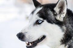 Huvudet sköt av en husky förföljer i Lapland Royaltyfria Foton