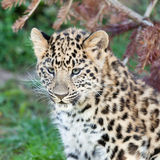 Huvudet sköt av förtjusande Amur Leopardgröngöling Royaltyfria Bilder