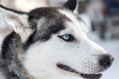 Huvudet som skjutas av en husky, förföljer i Lapland, Finland Fotografering för Bildbyråer