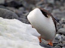Huvudlös Gentoo pingvin Arkivfoto