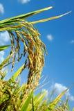 huvudmogen paddyrice för asiatisk mat Rice är en häftklammermat av Asien Royaltyfri Bild