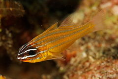 huvudsaklig cyanosomafisk thailand för apogon Fotografering för Bildbyråer