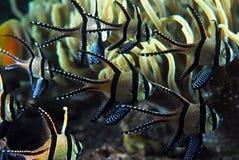 huvudsaklig fisk för banggai Royaltyfri Bild