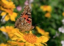 Huvudsaklig fjäril Arkivbild