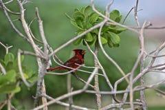 huvudsaklig red för fågel Royaltyfri Fotografi