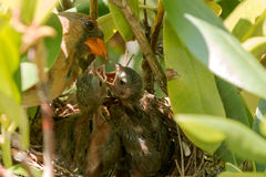 Huvudsakliga fågelungar som är matning, in som deras fåglar bygga bo Royaltyfri Bild