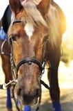 Huvudskott av en bärande tygel för härlig brun häst i pinfolden royaltyfri fotografi