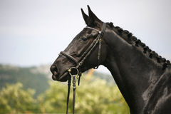 Huvudskottet av en fullblods- svart färgade den unga hästen Arkivfoton