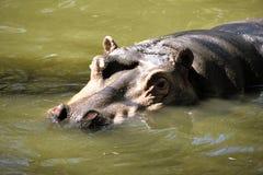 Huvudståenden av den stora flodhästen royaltyfria foton