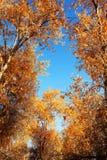 HuYang träd Arkivfoto