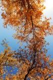 HuYang träd Fotografering för Bildbyråer