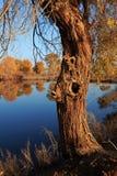 HuYang träd Arkivfoton