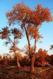 HuYang träd Royaltyfri Fotografi