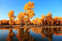 HuYang Tree09 Photo stock