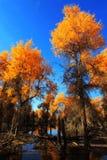 HuYang Tree10 Image stock