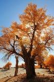 HuYang Tree13 Image libre de droits