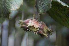Huzelnuts in de tuin deze vroege herfst Royalty-vrije Stock Fotografie