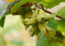 Huzelnuts sur l'élevage d'arbre Photos stock
