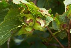 Huzelnuts sur l'élevage d'arbre Photos libres de droits
